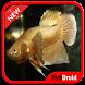 Betta Fish Wallpaper by pictdroid