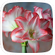Amaryllis blossom peacock by Huizhang Theme