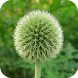 Echinops Flower Wallpapers by Dabster Software