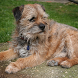 Border Terrier Dogs Wallpapers by altothem