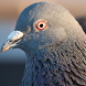 Pigeon Live Wallpaper by solar trap studio