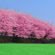 Cherry blossoms - Full by Info-puzzle