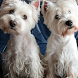 West White Terrier Dogs Themes by altothem