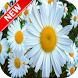 Daisy Wallpapers by Fresh Wallpapers