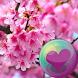 Sakura Cherry Blossoms HD Wall by Purple Berry