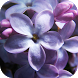 Lilac Flowers Live Wallpaper by WpStar