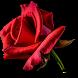 Blooming Roses Video Wallpaper by Pawel Gazdik