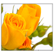 Yellow Rose Live Wallpaper by SoftFree2015