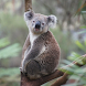 Koala Wallpapers by Syzygy Wallpapers and Quotes