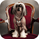 Chinese Crested Wallpapers HD