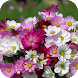 Kosmeya Flower Wallpapers by Dabster Software