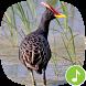 Appp.io - Watercock Bird Calls by Appp.io