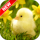 Baby Duck Wallpapers by Fresh Wallpapers